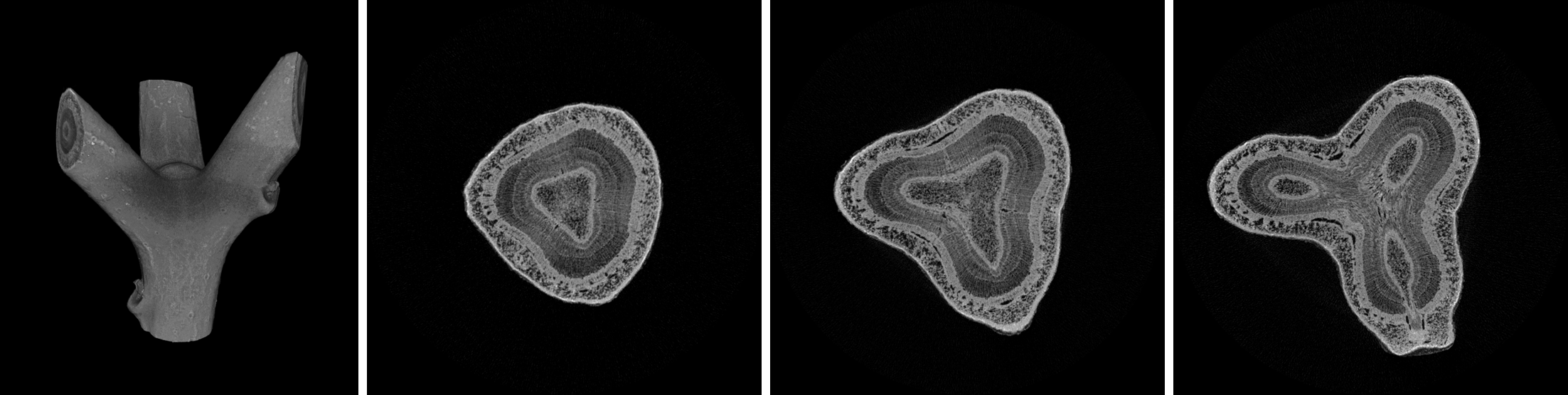 µct aufnahme einer verzweigung von edgeworthia chrysantha